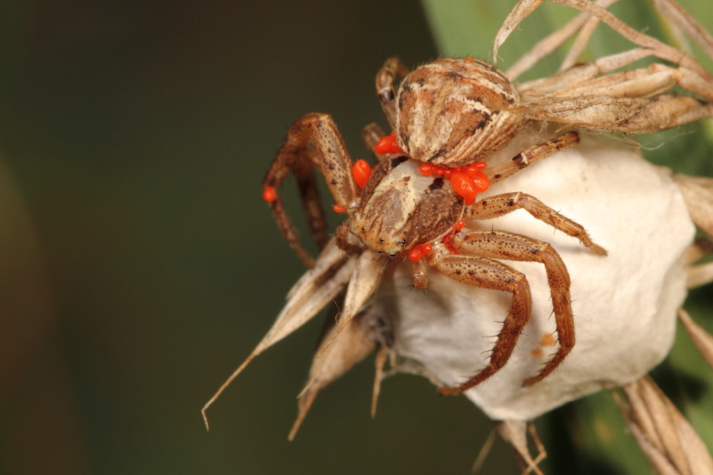 Crab spider with red mites and eggsack