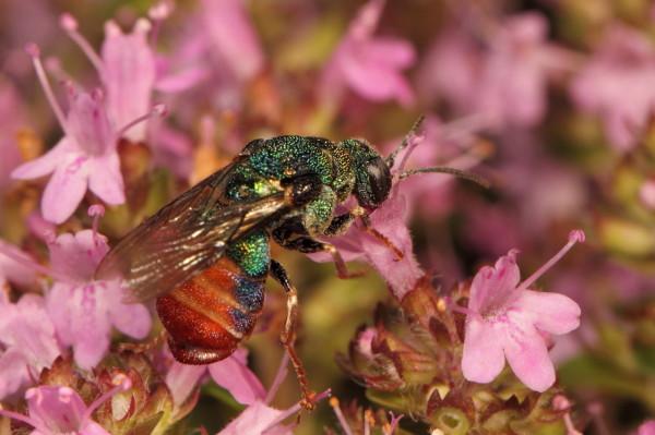 Metallic colourful bee feeding