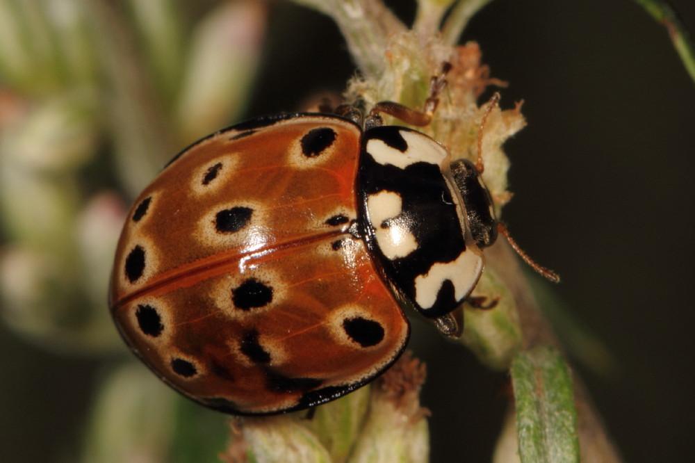 Lady beetle (Anatis ocellata)