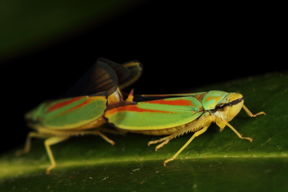 Rhododendron Leafhoppers (Graphocephala fennahi)