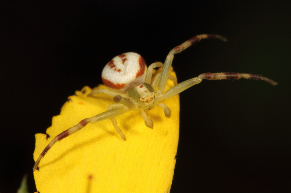 Crab spider waiting