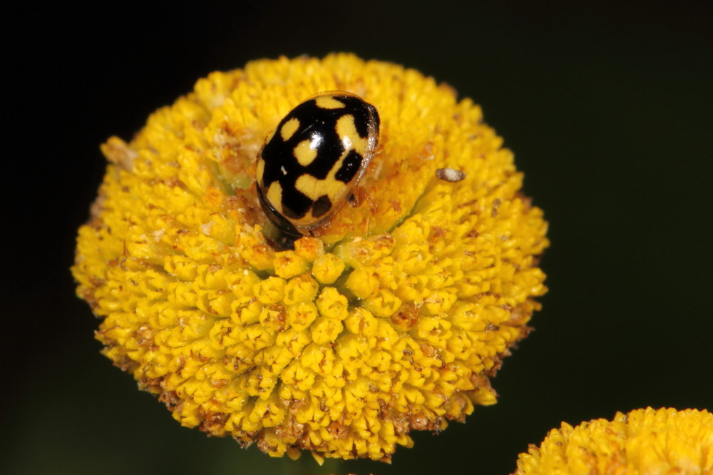 Yellow lady beetle feeding