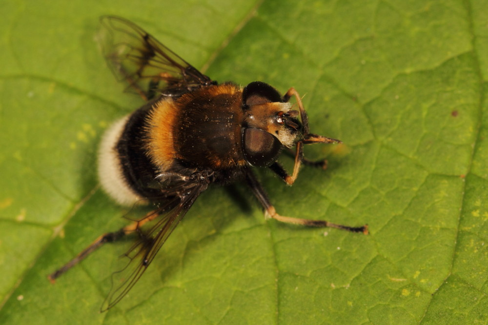A fly mimicking a bumblebee