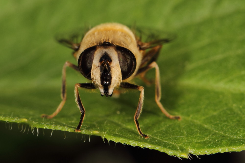 Portrait of a hairy fly