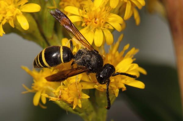 Little wasp feeding on yellow flowers