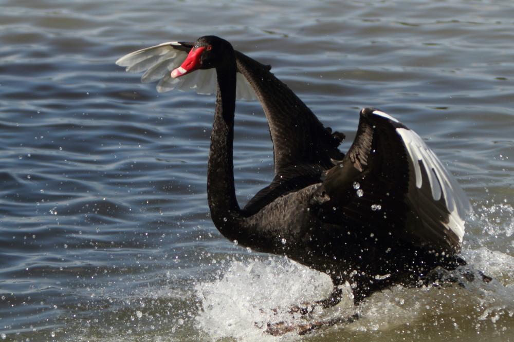 Black swan landing on water