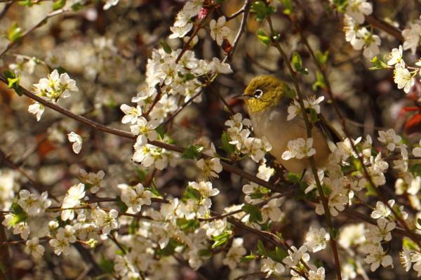 Silvereye in spring blossoms