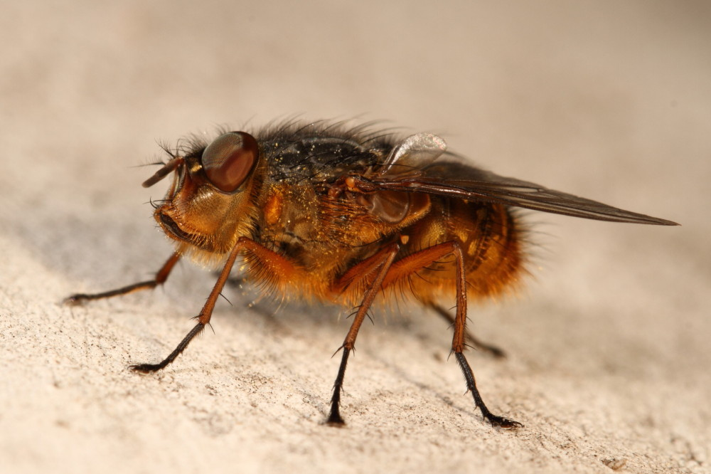 Hairy blowfly