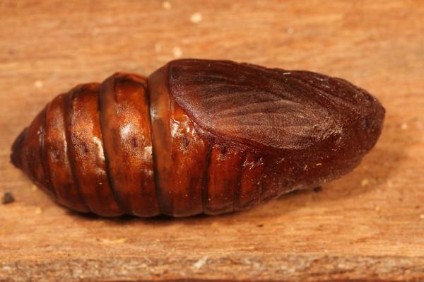 Large brown pupa