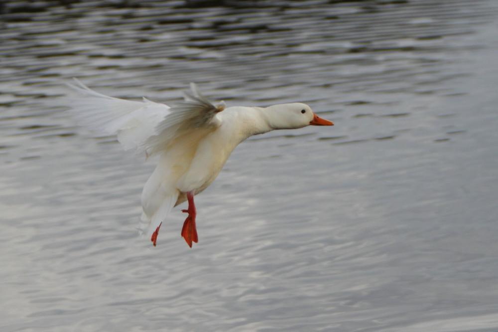 White duck in flight