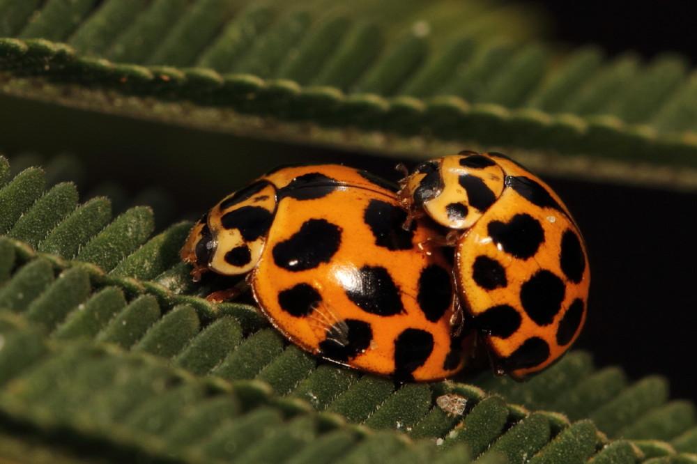 Lady beetles mating