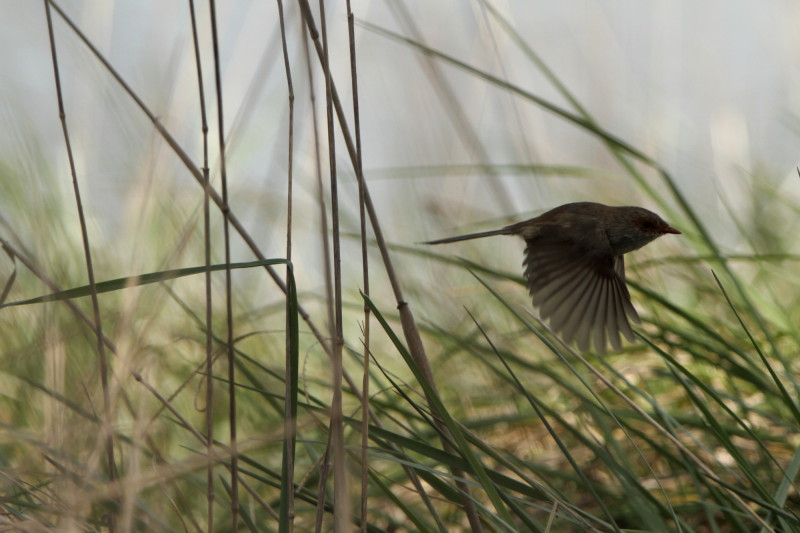 Superb fairy wren in flight - Animal & Insect Photos ...