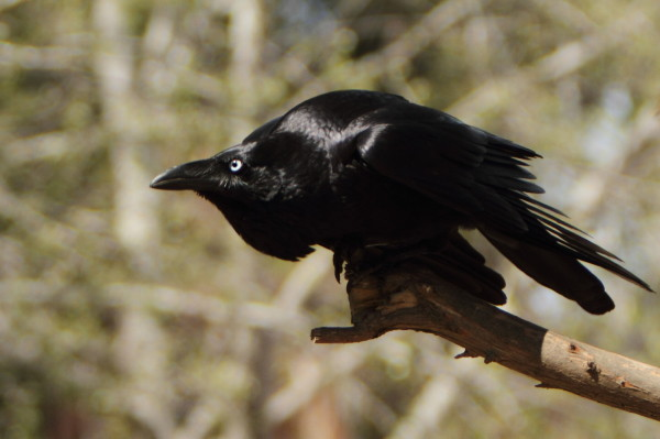 Scary raven