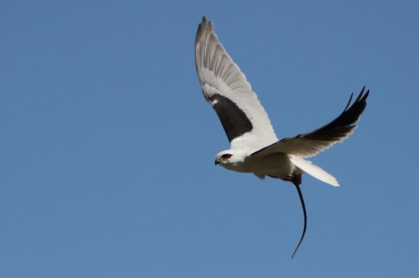 Black shouldered kite carrying a rat