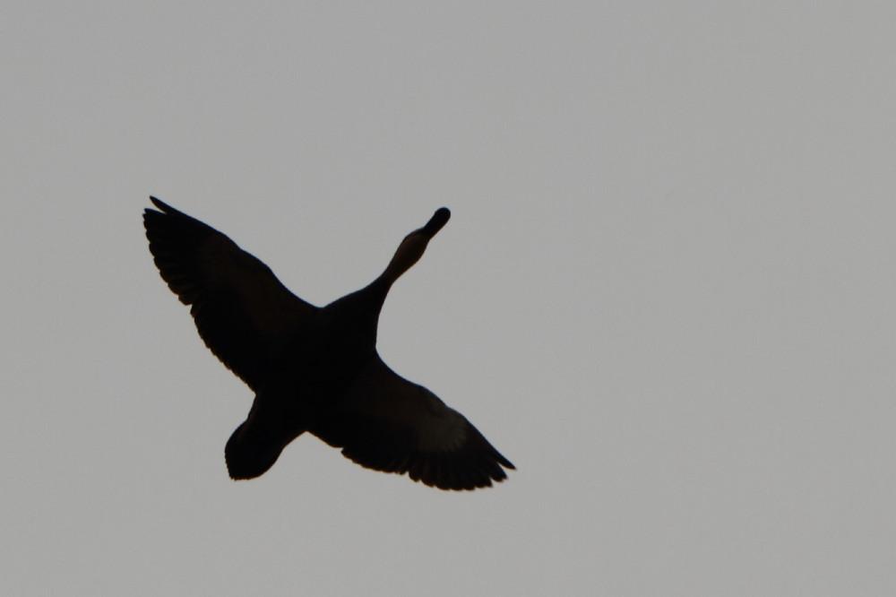Duck in flight silhouette