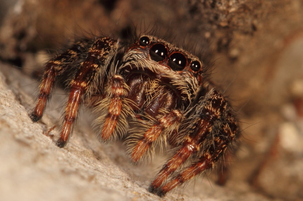 Hairy jumping spider