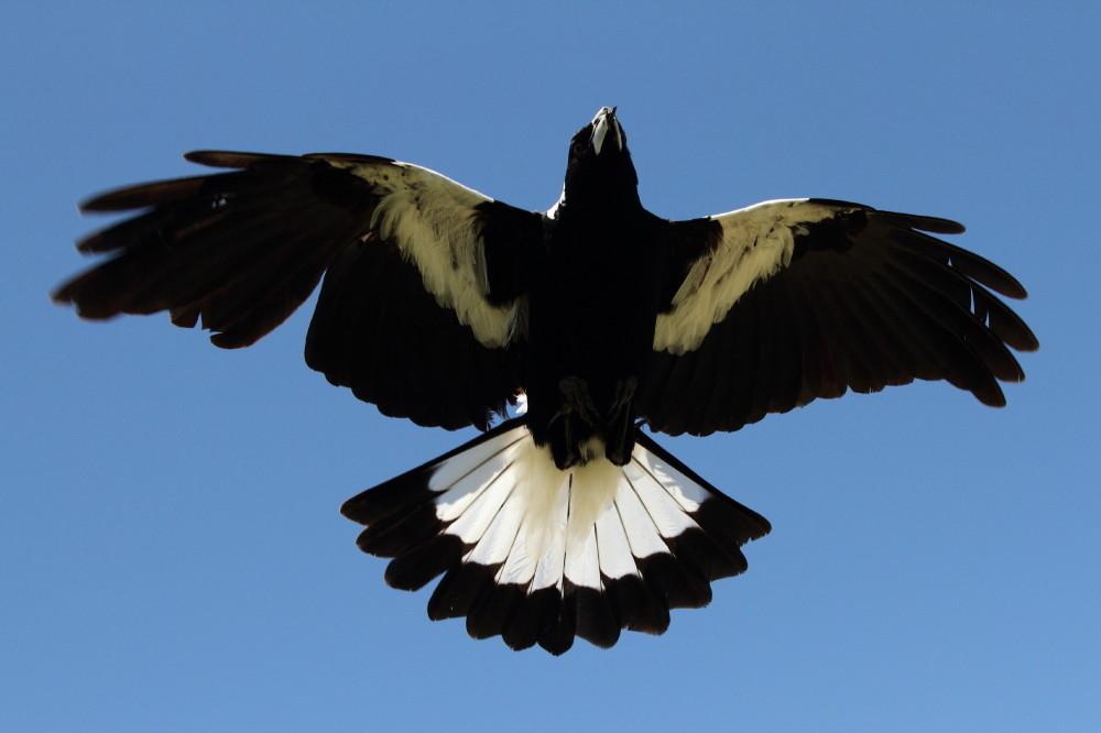 Swooping magpie with a broken beak