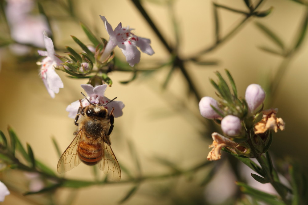 Honeybee feeding
