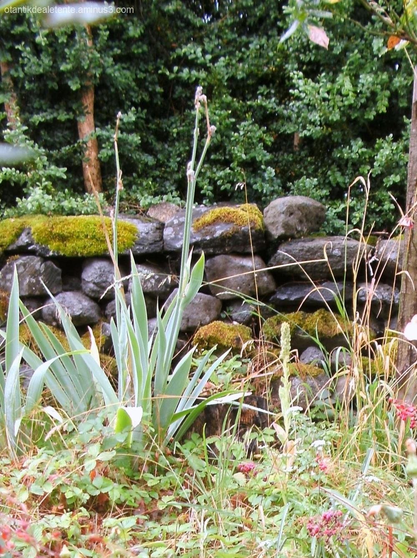le mur en pierres sèches, le buis