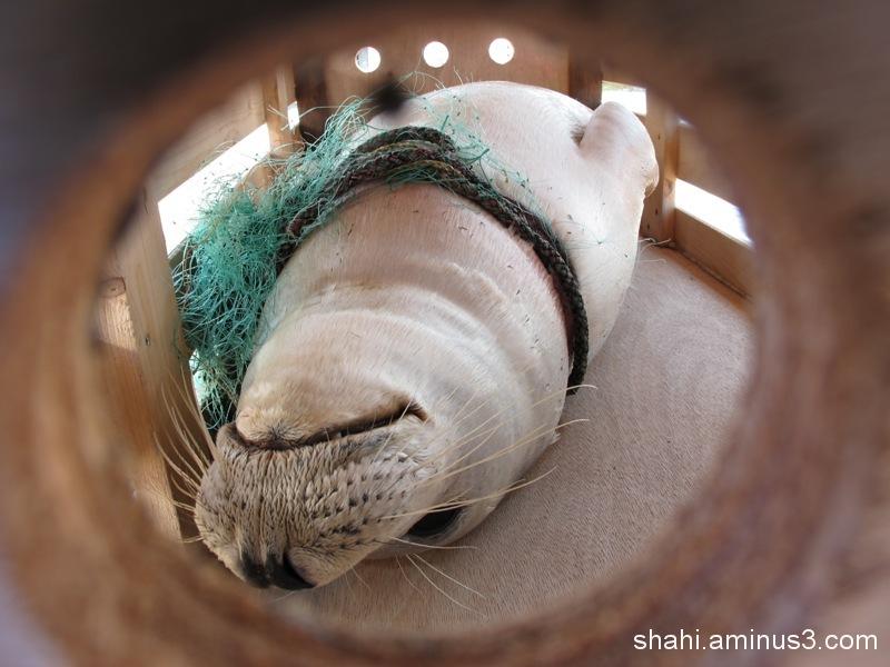 Pieterburen - Seal