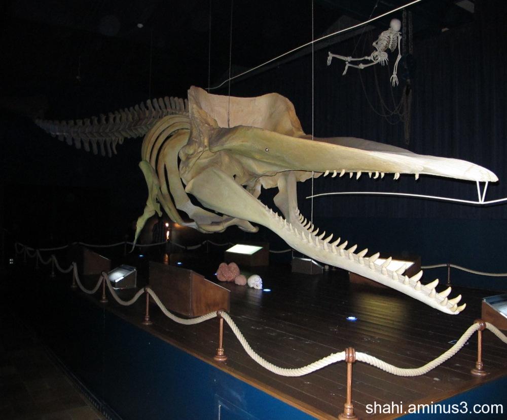 Pieterburen - skeleton