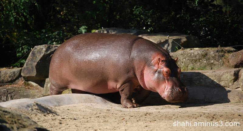 Hippopotamus - اسب آبی