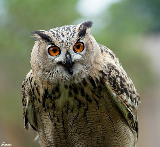 L'oiseau aux yeux d'or