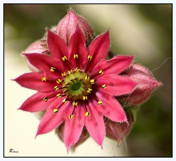 Fleur de succulente