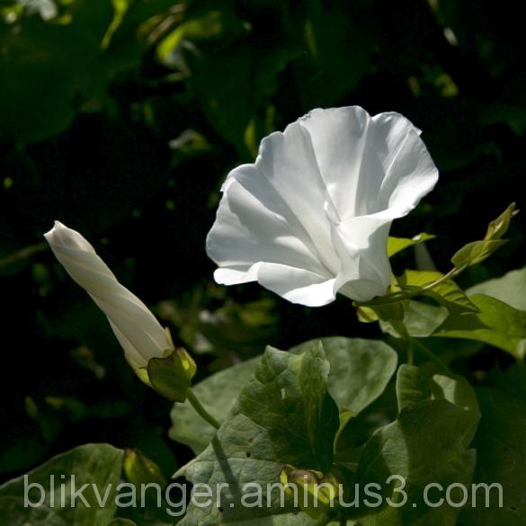 blikvanger141