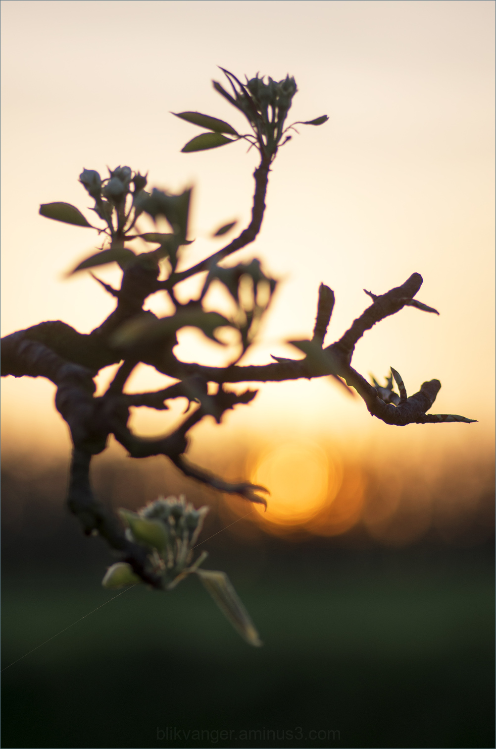 Early blossom1