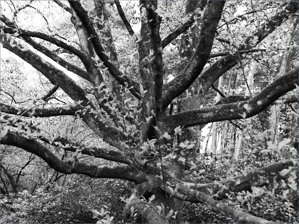 veel armige boom