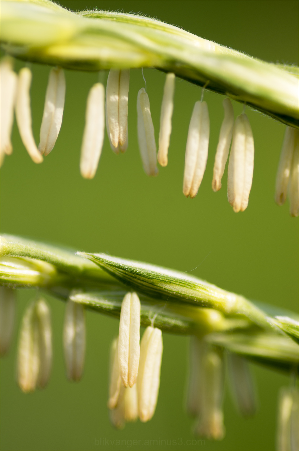 corn flower detail