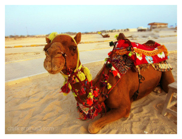 my camel