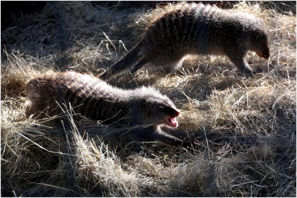 Animaux d'Afrique du Sud, des mangoustes rayées