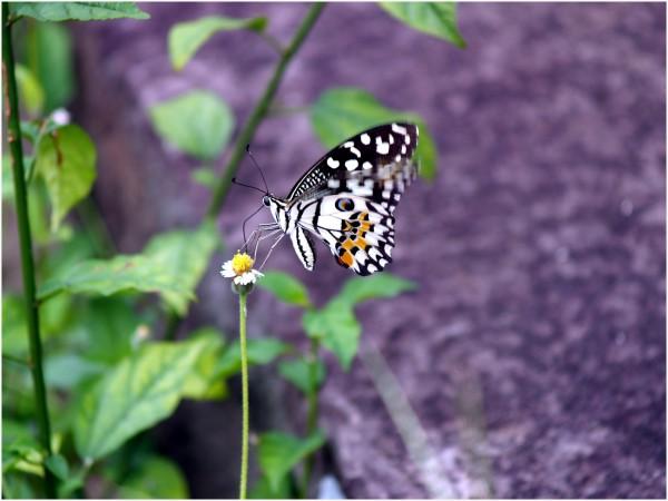 Joli papillon dans la forêt d'Ankor Vat