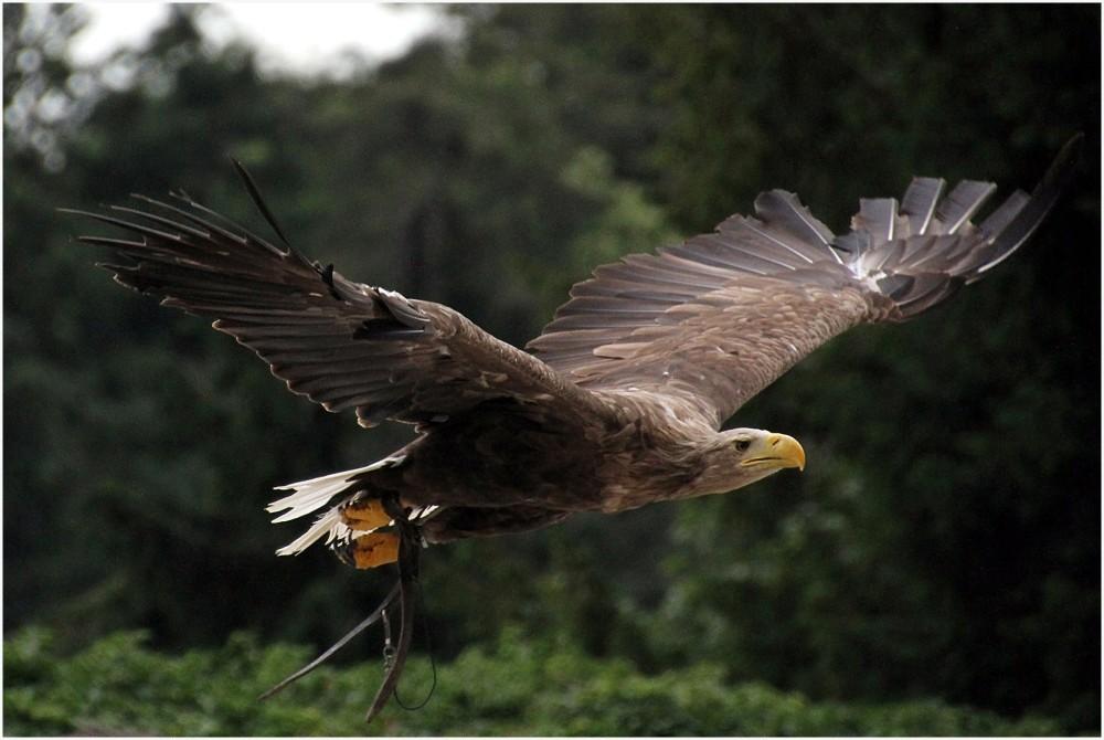 Vol majestueux d'un aigle Impérial en Alsace