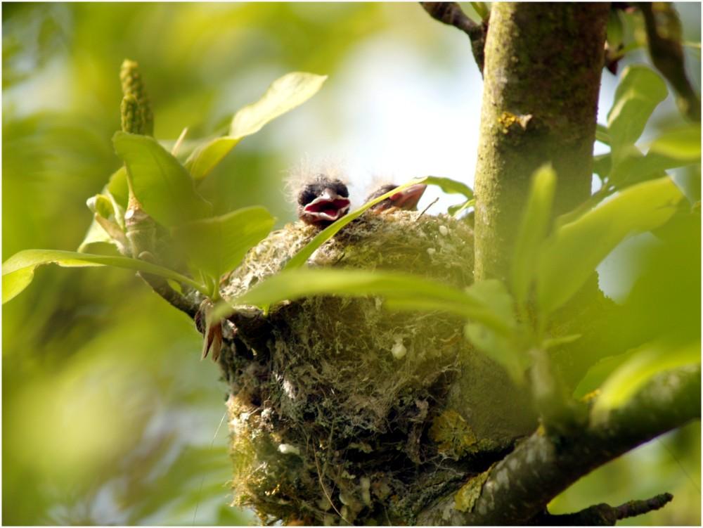 Oisillons dans son nid.