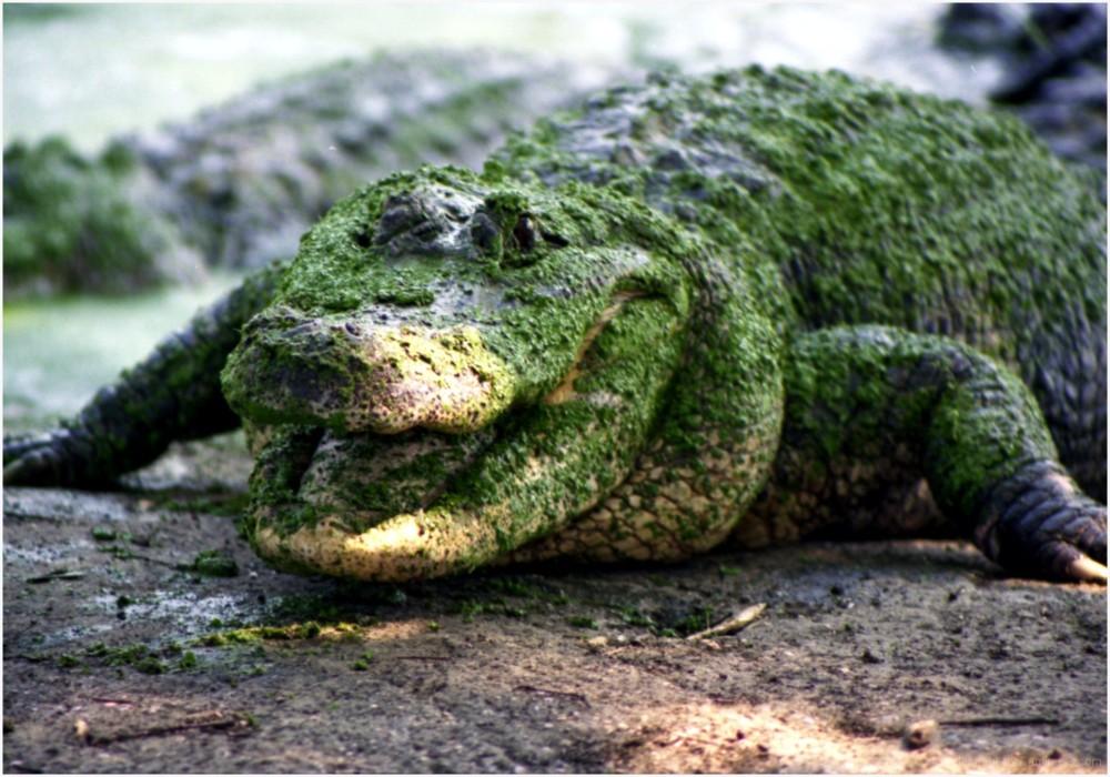 Portrait d'un alligator en tenue de camouflage