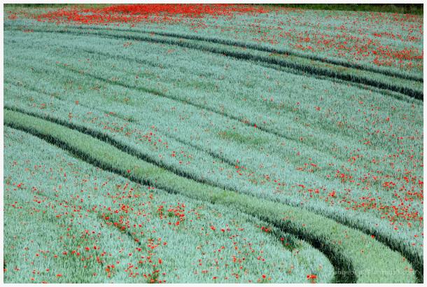 Coquelicots dans un champ de blé