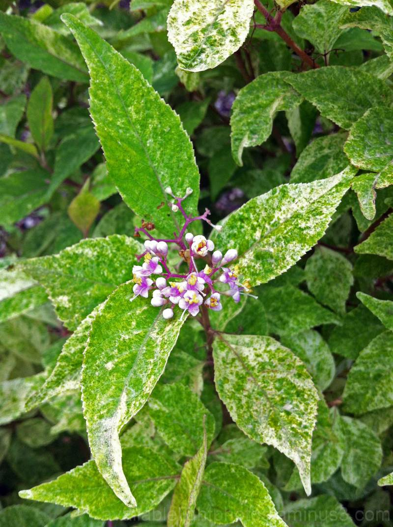 Wine Spritzer(TM) Beautyberry