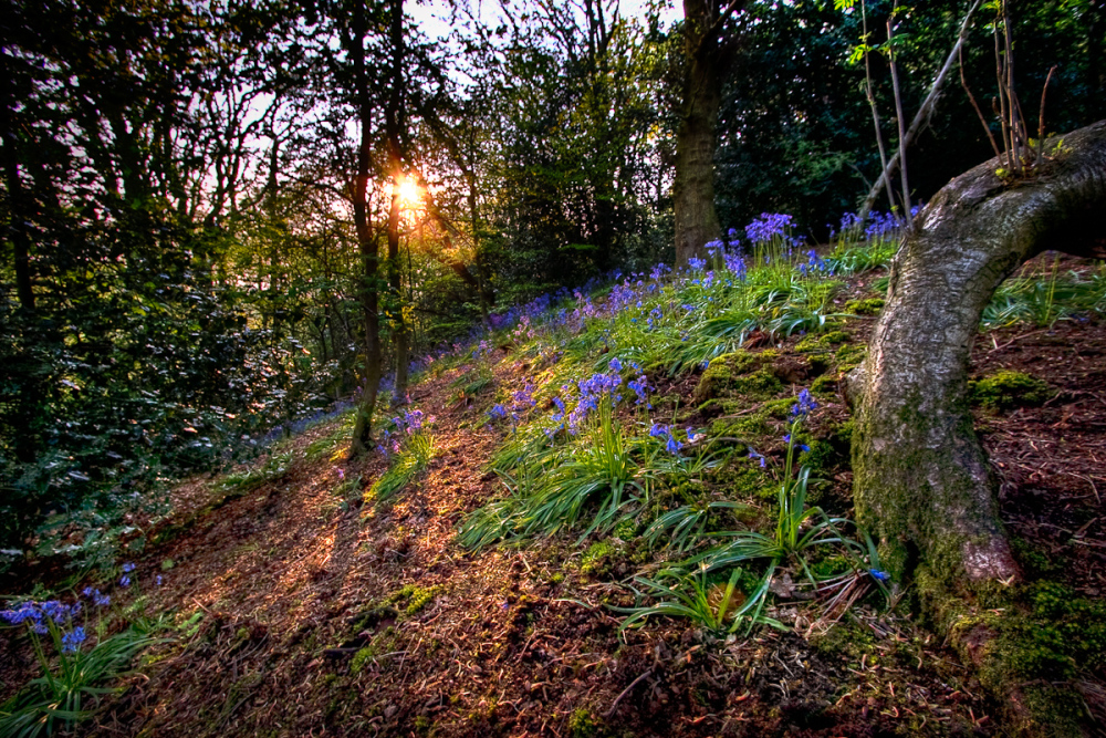 Bluebell Glow