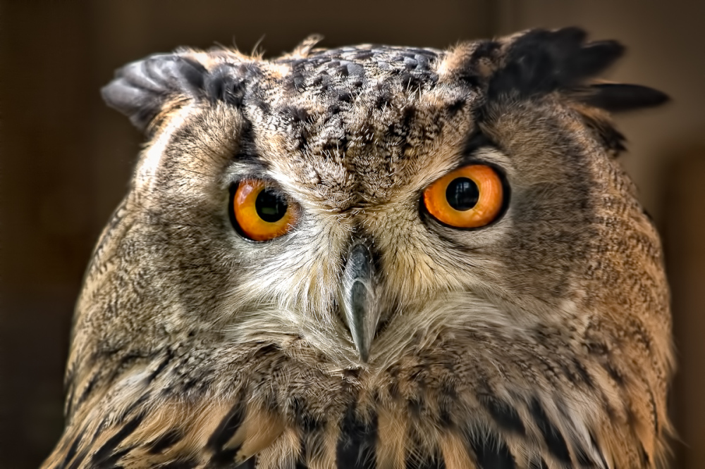 The Stare of The Owl