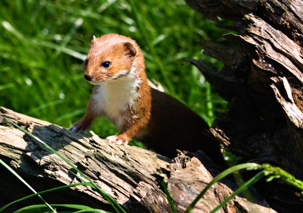 A Little Weasel