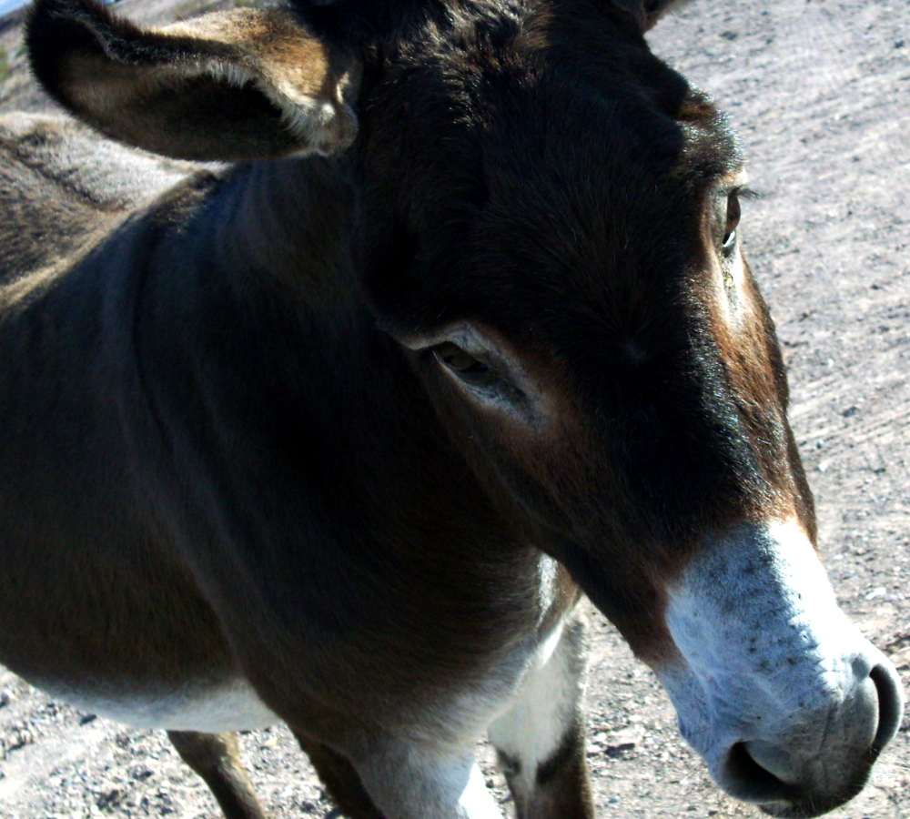 donkey desert