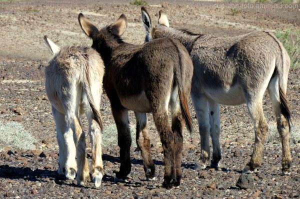 donkey burro desert