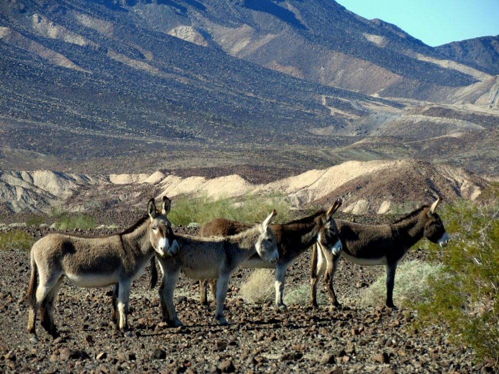 burros donkeys desert