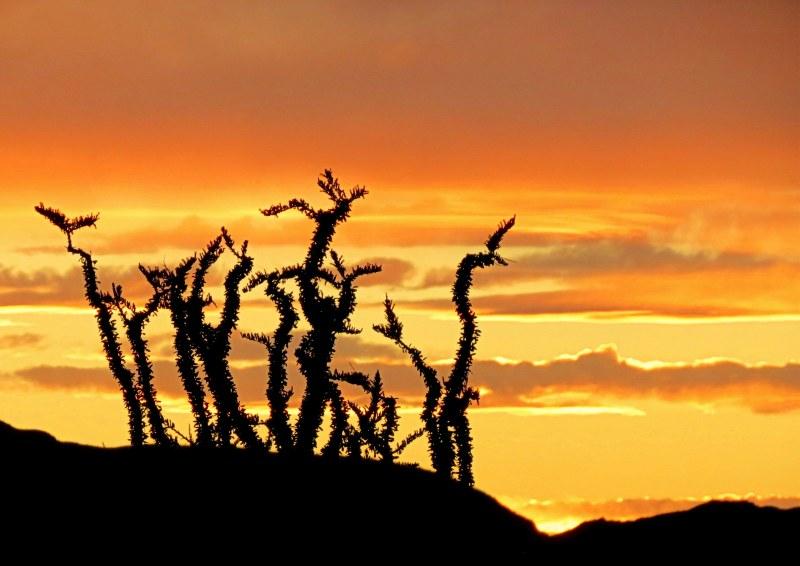 ocotillo at sunset- ocotillo cactus at sunset