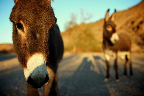 les ânes sauvages du désert