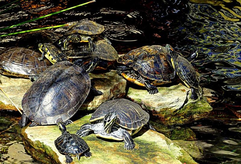 les tortues se chauffent la couenne