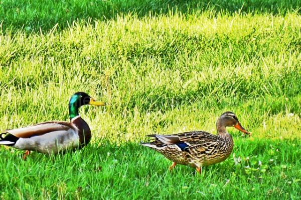 Ducks in yard